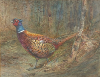 A Wary Old Bird (Pheasant), Charles Whymper