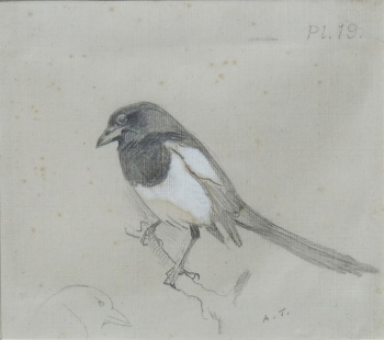Magpie, Archibald  Thorburn